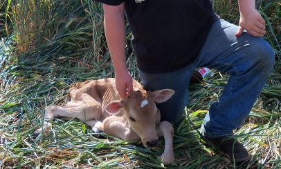 A baby calf named Big Mac