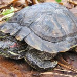 Red-eared sliders are illegal to buy, sell or possess in Oregon. ODFW photo.